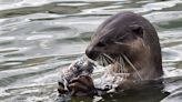 Singapore is being terrorized by the country's growing population of adorable otters, who've eaten thousands of dollars' worth of expensive koi fish