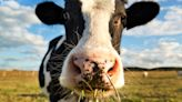 ON THE FARM: Got Milk? The process of getting milk to grocery stores
