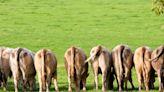 【食力】牛牛不再怕被怪「排氣」!飼料加入這成份,有效抑制21%甲烷生成!