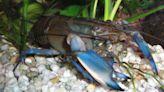 Antidepressants in the Water Change Crayfish Behavior