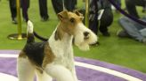 What it takes to win the Westminster Dog Show