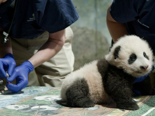 It's a 'Little Miracle'! The National Zoo's Panda Cub, 3 Months, Finally Gets a Name
