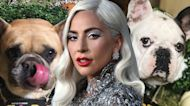 Lady Gaga's Bulldogs Stolen After Dog Walker Shooting
