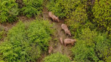 跟著遷徙的亞洲象,世界看到一個可可愛愛的中國   博客文章