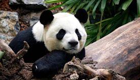 Calgary Zoo returning pandas to China due to bamboo barriers