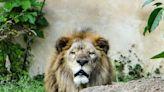 動物園獨有晚安曲! 非洲獅激動「吼叫」為吃撒嬌