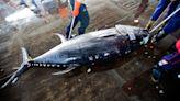 黑鮪魚破盤漁民依然苦,疫情期間的漁業反思