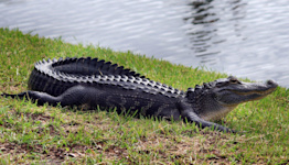 74-Year-Old Florida Woman Saves Dog from Alligator: 'I Did the Only Thing I Could Do'