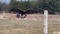 Birds of prey in action at the Canadian Raptor Conservatory