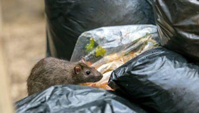 今年上半年滅鼠逾3萬隻 食環署指鼠患大致受控