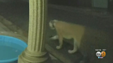 Mountain Lion Known As P-22 Reemerges In Same Hollywood Hills Neighborhood As Last Year