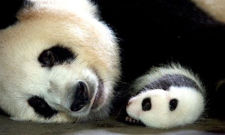 TV review – Natural World: Panda Makers and I Was Bin Laden's ...