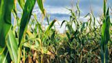 State's mostly good corn crop nears harvest's end