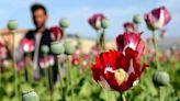 阿富汗成為頭號鴉片生產國,塔利班是罪魁禍首嗎