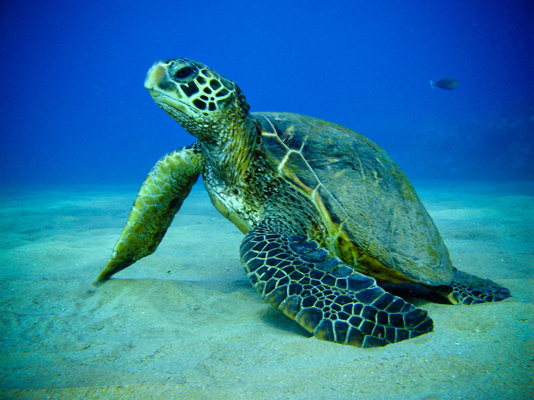Green Sea Turtle   Fading Americans