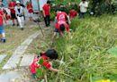 螢橋感恩水稻慶豐收 親子體驗割稻、脫穀樂趣多