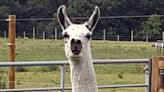 Could Fifi the Llama Help in Developing a COVID Nasal Spray?