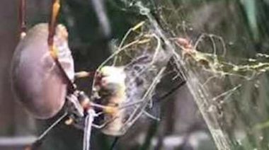 Spider Nets 'Lucky Catch' Dragonfly in Its Sticky Web