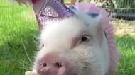 超可愛的變裝小豬