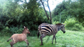 肯亞動物園最夯混血明星! 猜猜我的爸媽是誰?