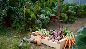 Travels in my vegetable patch, from French beans to Indian aubergines