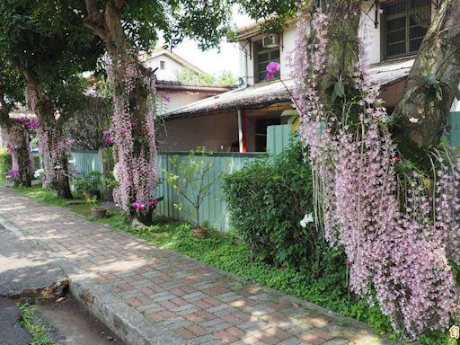 中興新村「瀑布蘭」盛開了!整條光明三路充滿「粉紅瀑布」美呆