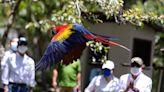 La guacamaya roja quiere volver a reinar en Honduras y repoblar Centroamérica