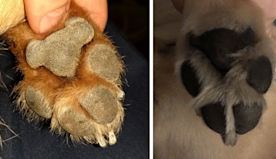 Someone Points Out That Dog Paws Look Like Koalas And Everyone Shares Pics