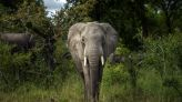 Elephants trample suspected rhino poacher to death in South Africa national park