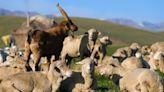 【散文】李娟《羊道:春牧場》:牧人和羊之間除了生存的互利關係,他們還是互為見證者 - The News Lens 關鍵評論網