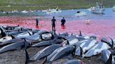 Isole Faroe, delfini e balene uccise: nuova strage di cetacei