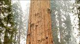 中英對照讀新聞》Giant sequoias wrapped in foil to protect from US forest fires 鋁箔包覆巨大紅杉來對抗美國森林大火