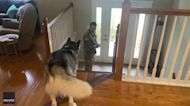 Don't Go! Husky Tries His Best to Persuade Soldier Dad to Stay Home