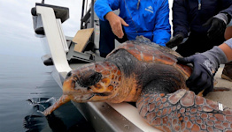 Young, Formerly Cold-Stunned Rescue Turtle Released into Warm Ocean Waters Following Recovery