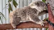 Koalas fight for survival after devastating wildfires in Australia
