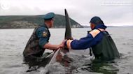 WEB EXTRA: Baby Killer Whale Rescued From Shallow Water in Russia