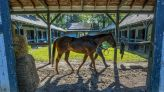 Whitmore, 8, still in the game, ready for Vanderbilt at Saratoga