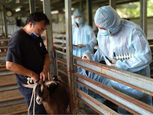 預防羊痘疫情 新北動保處巡迴15處養羊戶接種疫苗