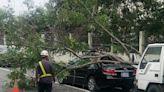 民權路路樹倒塌壓車頂 工務局移除