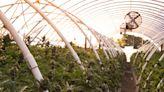 California Seizes 1.2 Million Dangerously Untaxed Marijuana Plants