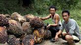 綠色認證棕櫚油需要支持 監督機構訂新規 企業採購量不足將受罰