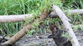 Finding ways to share suburbs with 'nature's engineers' the beavers