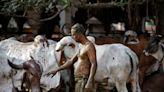 【別誤信偏方】牛糞無法預防新冠肺炎 印度醫師警:還可能感染其他疾病