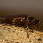 cockroach by Flickr user ScreenNameComesHere