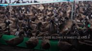 Ducks are gainfully employed at this South African vineyard