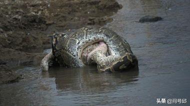 蟒蛇用餐從不喜歡細嚼慢咽,狼吞虎咽才能享受簡單粗暴的快感