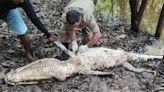 倒楣漁夫遭海盜挾持失蹤 村民剖開3公尺巨鱷尋獲遺體