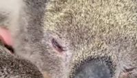 Rescued Koala Nods Off, Snores During Health Check