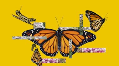 6 ways Californians can help save the iconic monarch butterfly