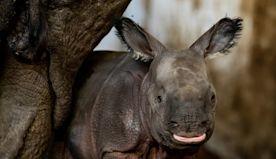 Polish Zoo Welcomes Endangered Indian Rhinoceros Baby: 'Best Gift'